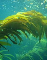 alghee